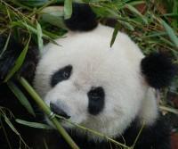 hoe goed ken jij een kleine panda?