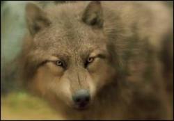 I'm the new black wolf [wolfpack van twilight]AFGELOPEN(part 1)
